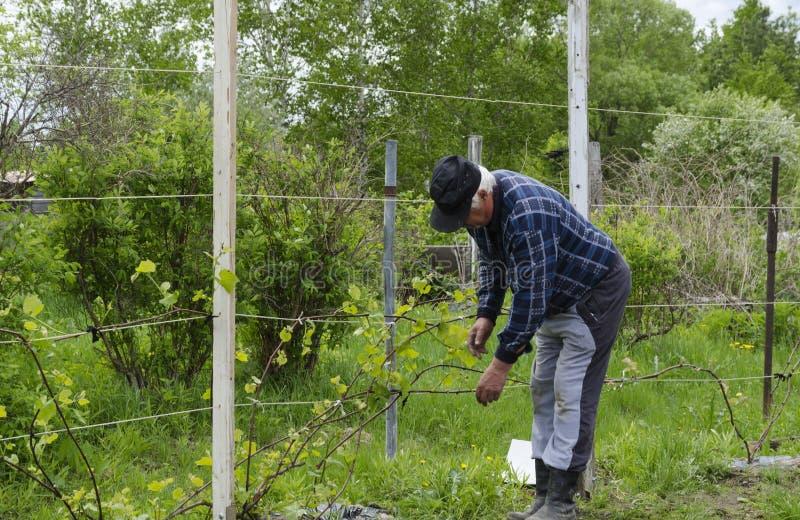 Man ties up the grapes. royalty free stock photos