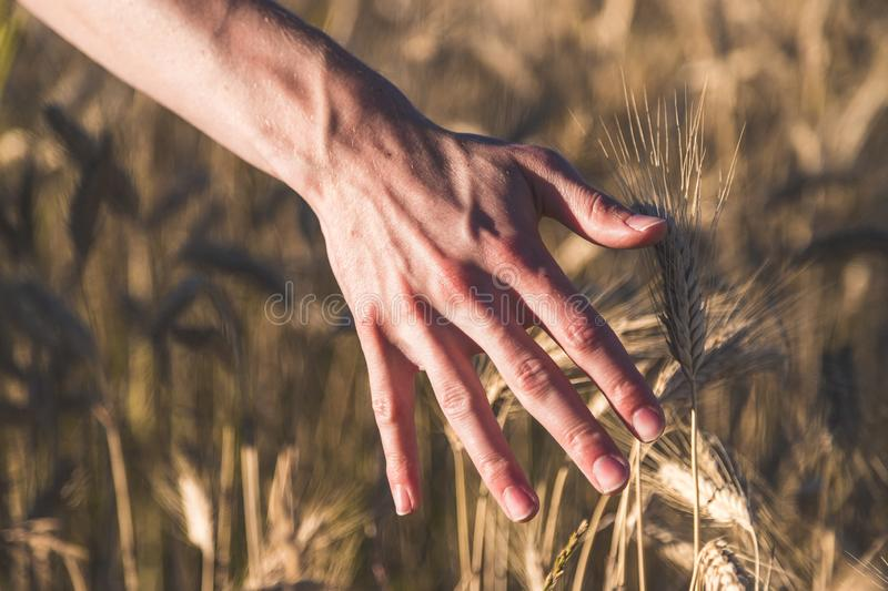 Man touching an ear of wheat at sunset. Male farmer is touching wheat crop ears in a field, sunset, concept, agriculture, invest, beginning, insurance, vision royalty free stock image