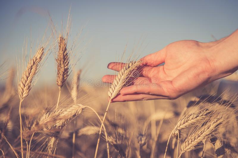 Man touching an ear of wheat at sunset. Male farmer is touching wheat crop ears in a field, sunset, concept, agriculture, invest, beginning, insurance, vision stock photo