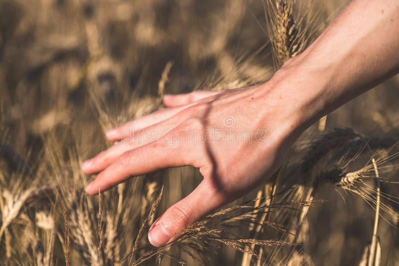 Man touching an ear of wheat at sunset. Male farmer is touching wheat crop ears in a field, sunset, concept, agriculture, invest, beginning, insurance, vision royalty free stock images