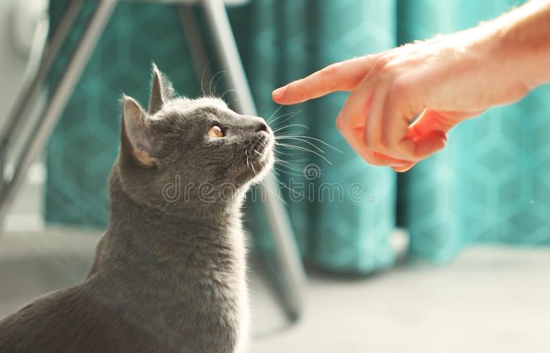 Man touching fluffy domestic cat.Male hand playing with cute lazy gray cat.Russian blue cat at cozy home interior. Pet care, stock image
