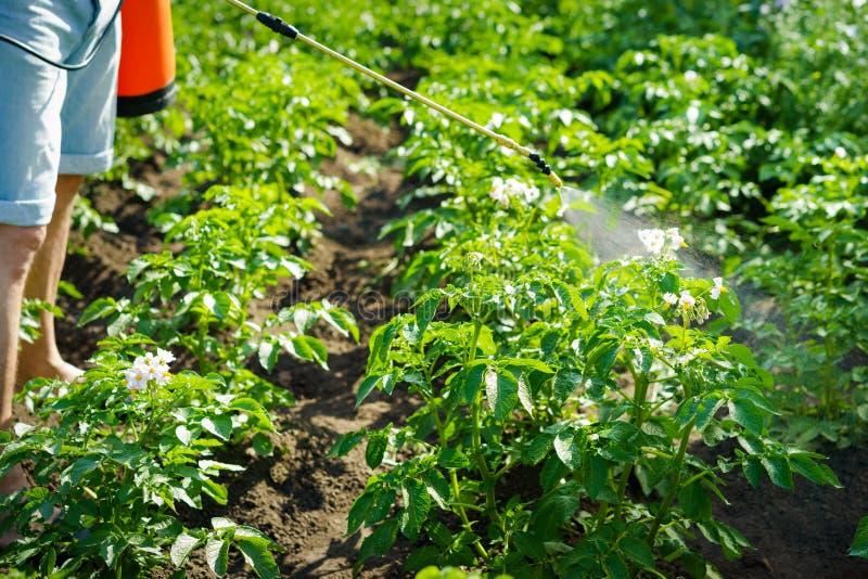 A man treats and sprays potato tops from a Colorado potato beetle on a Sunny morning. A man treats and sprays potato tops chemicals from a Colorado potato beetle royalty free stock image