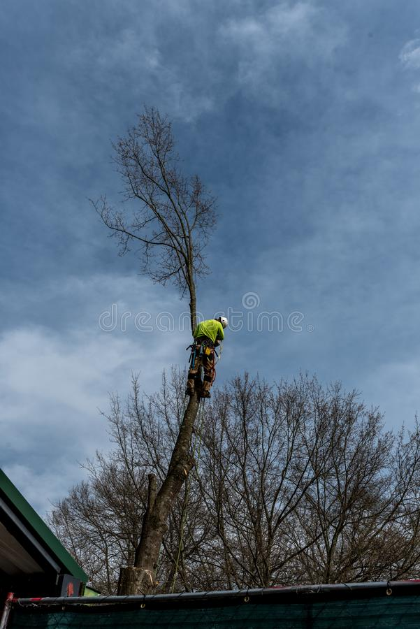 Man in tree with chainsaw. Cutting down tree with tool belt and tools hanging down royalty free stock image