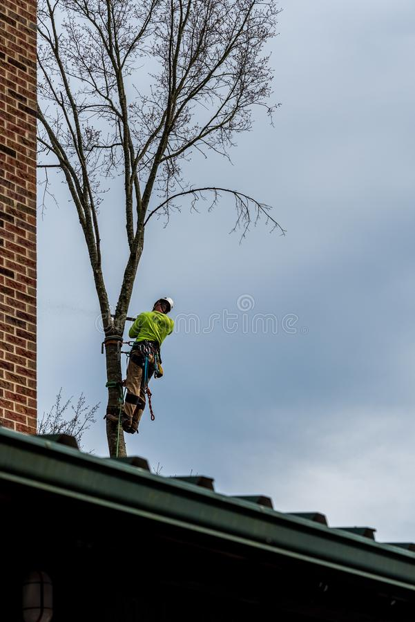 Man in tree with chainsaw. Cutting down tree with tool belt and tools hanging down royalty free stock photography