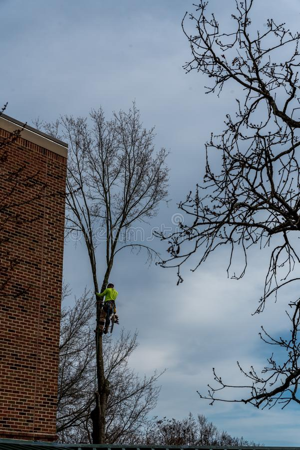 Man in tree with chainsaw. Cutting down tree with tool belt and tools hanging down stock image