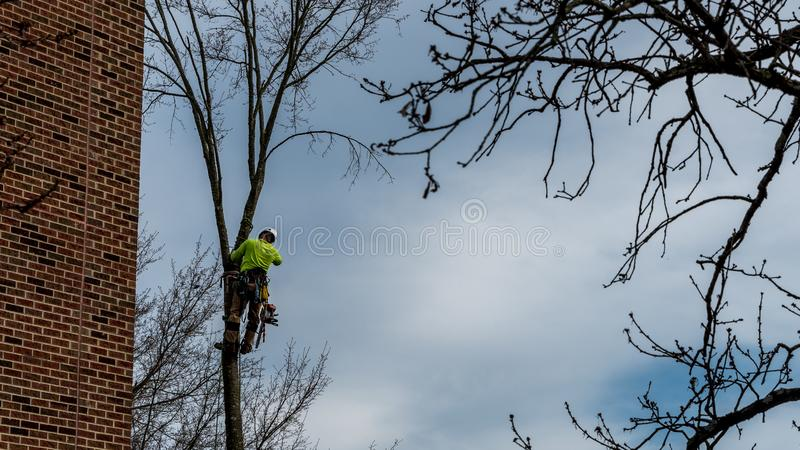 Man in tree with chainsaw. Cutting down tree with tool belt and tools hanging down royalty free stock photo