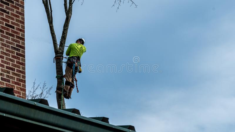 Man in tree with chainsaw. Cutting down tree with tool belt and tools hanging down royalty free stock images