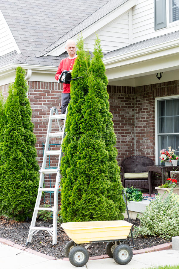 Man Trimming Thuja Occidentalis Plant at Backyard. Male Gardener Trimming Tall Thuja Occidentalis Thuja Occidentalis Plant Using Stepladder and Hedge Trimmer at royalty free stock images