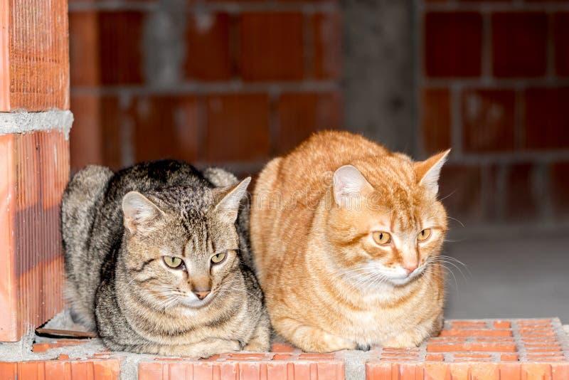 Man två gjorde randig gråa katter och orange sammanträde på väggen för röd tegelsten arkivbilder