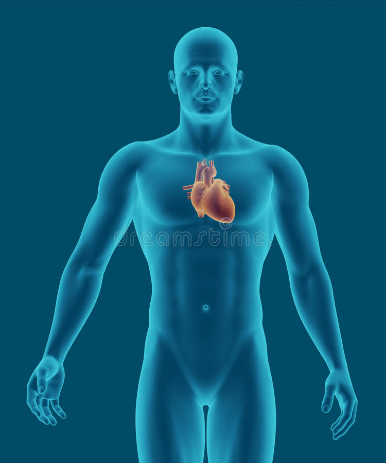Man with a visible heart and coronary vessels 3d illustration. X-ray of man with a visible heart and coronary vessels 3d illustration stock illustration