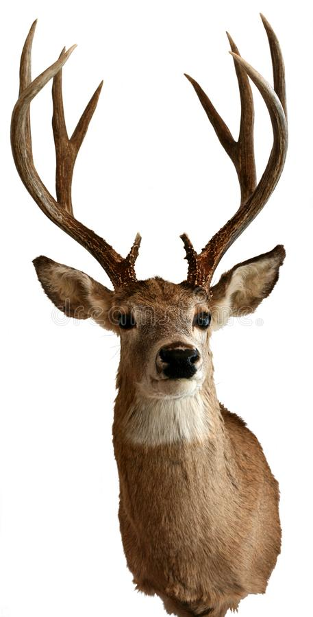 Man vit-tailed isolerade hjortuppstoppningobjekt royaltyfri bild