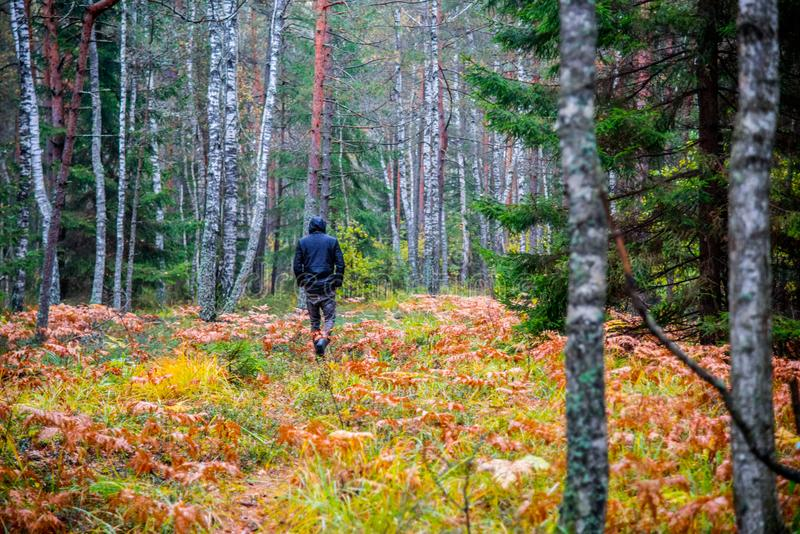 man walk in fall woods royalty free stock photography