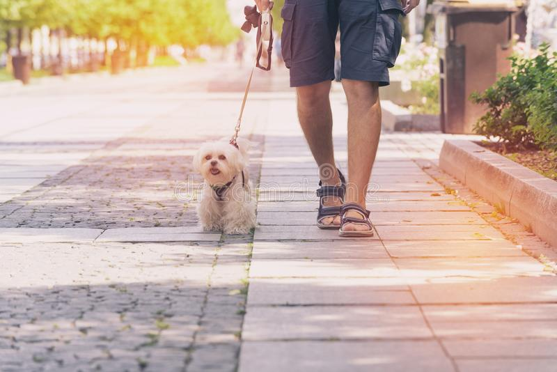 Man walking with dog. Man walking with Maltese dog in the city stock image