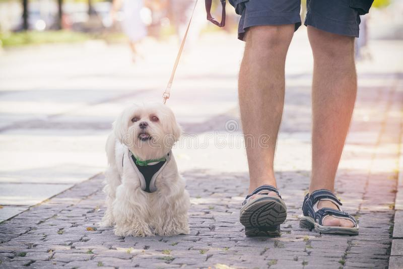 Man walking with dog. Man walking with Maltese dog in the city stock images