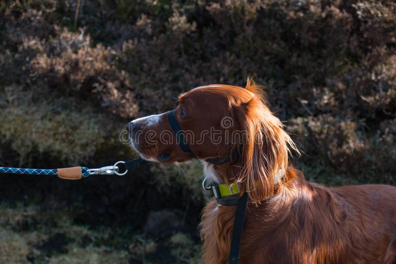 Man walking his Irish red setter dog along an Irish Cliffside walk in Donegal royalty free stock photos