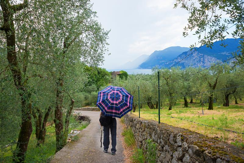 Walking through mediterranean landscape with olive grove on a ra. Man walking through mediterranean landscape with olive grove on a rainy day, italy royalty free stock photography