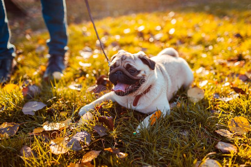 Man walking pug dog in autumn park. Happy puppy sitting on grass by man`s legs. Dog resting. Outdoors royalty free stock photo