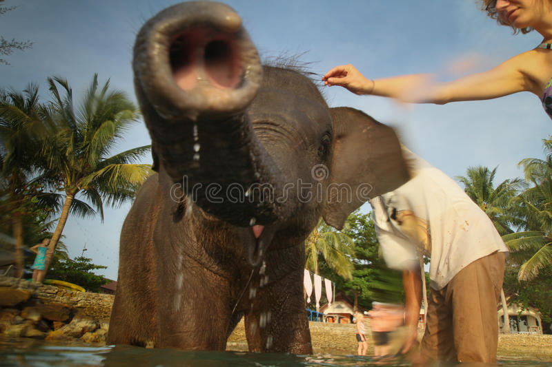 A man washes his elephant on Ko Chang island stock images