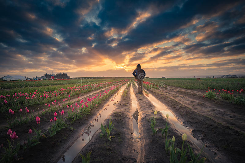 Man watching sunrise in tulip field. This is a photograph of a man watching sunrise in a tulip field stock images