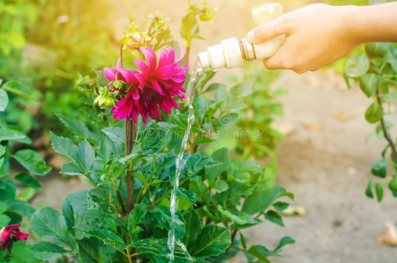 Man watering flowers in garden centre on a sunny day. flower bed, back yard. hose irrigation stock photography
