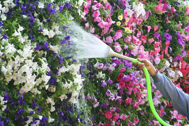 Man watering the flowers at garden royalty free stock images