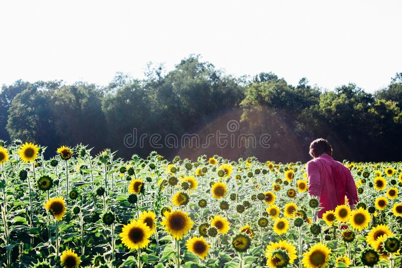 Download Man Wearing Pink Dress Shirt Near Sunflower Fields Stock Image - Image of bloom, sunflowers: 82982081
