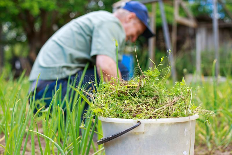 A man is weeding beds. Man in the garden stock image