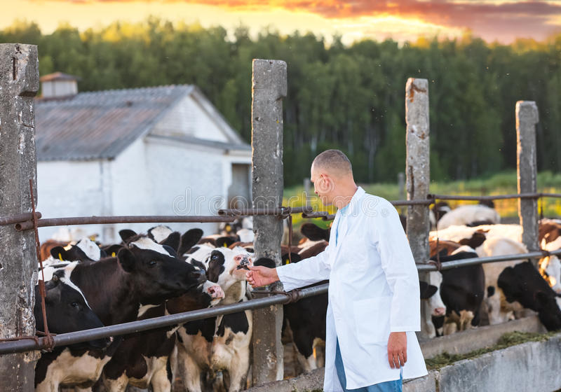 Man in a white coat on cows farm. Veterinarian man in a white coat on farm cow royalty free stock images