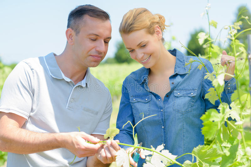 Man and woman inspecting leaves grape vine royalty free stock images
