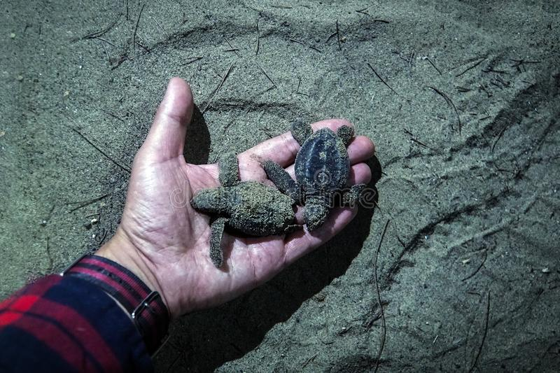 little baby turtles in the hand of the night royalty free stock photos