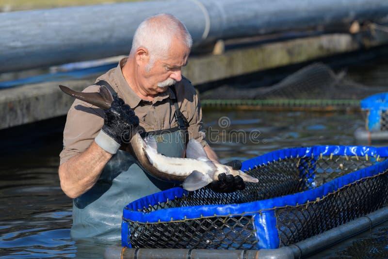 Man working at fish farm royalty free stock image