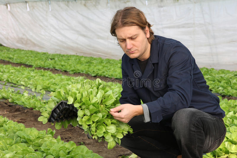 Man Working In A Greenhouse Stock Image