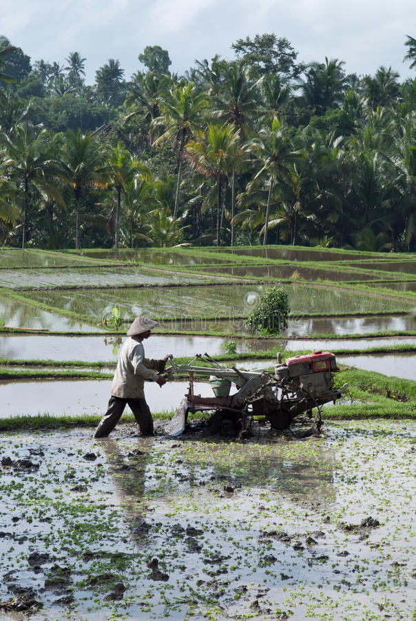 Man working in a rice field stock photos