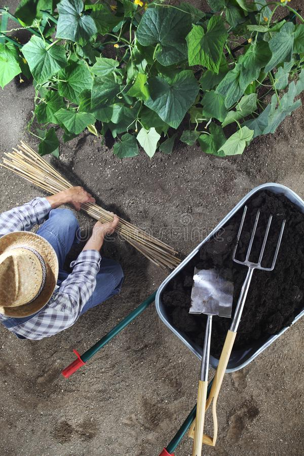 Man working in vegetable garden with bamboo sticks for tie the plants near wheelbarrow full of fertilizer and gardening equipment stock photo