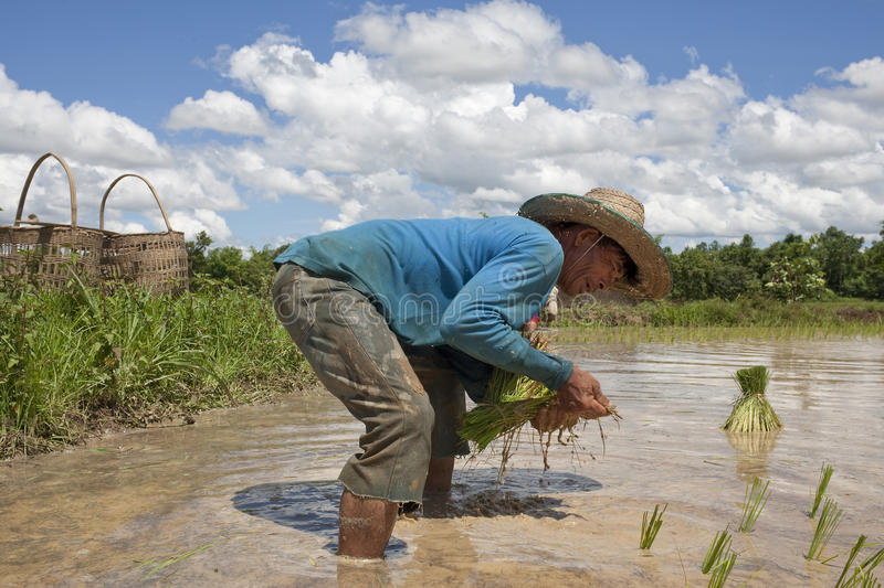 Man works on the paddy field, Asia royalty free stock photography