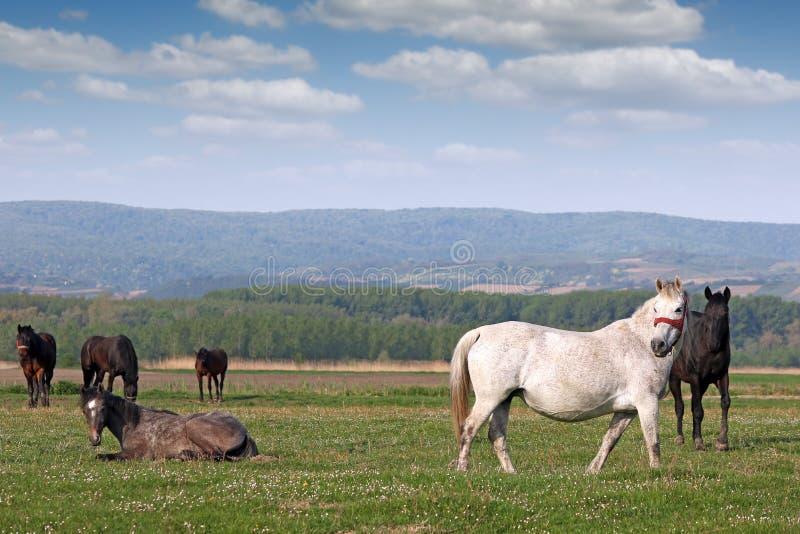 Manada de caballos fotos de archivo libres de regalías