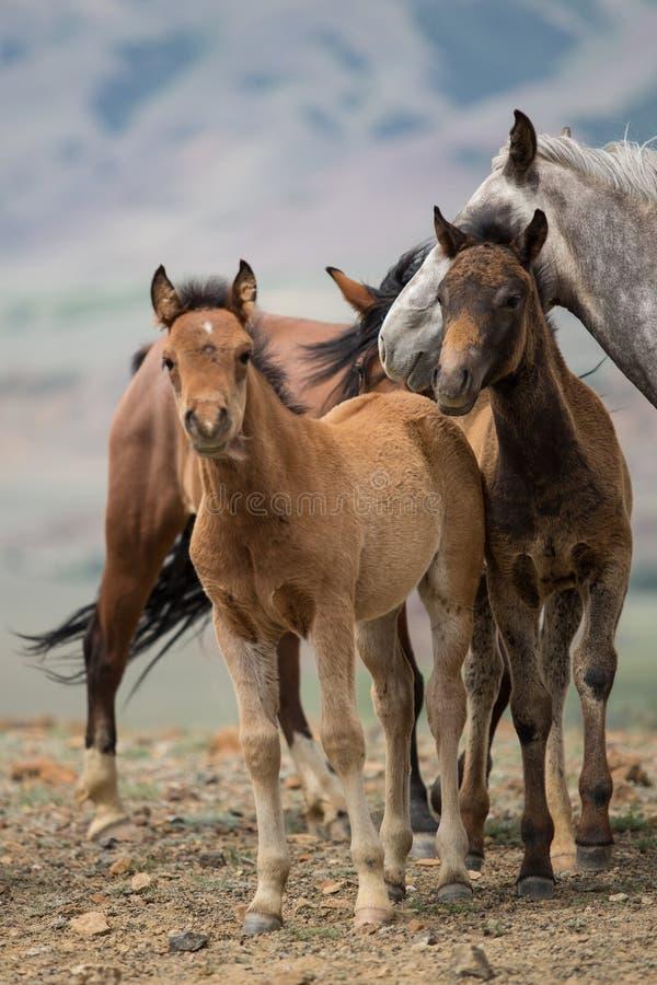 Manada de caballos con los potros jovenes imágenes de archivo libres de regalías