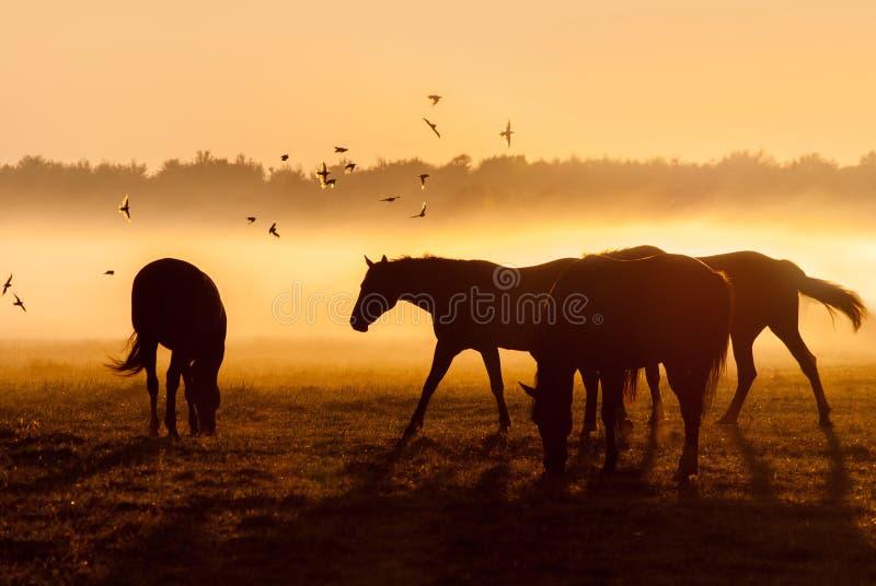Manada de caballos en la salida del sol sobre la cual vuela una multitud del pájaro foto de archivo libre de regalías
