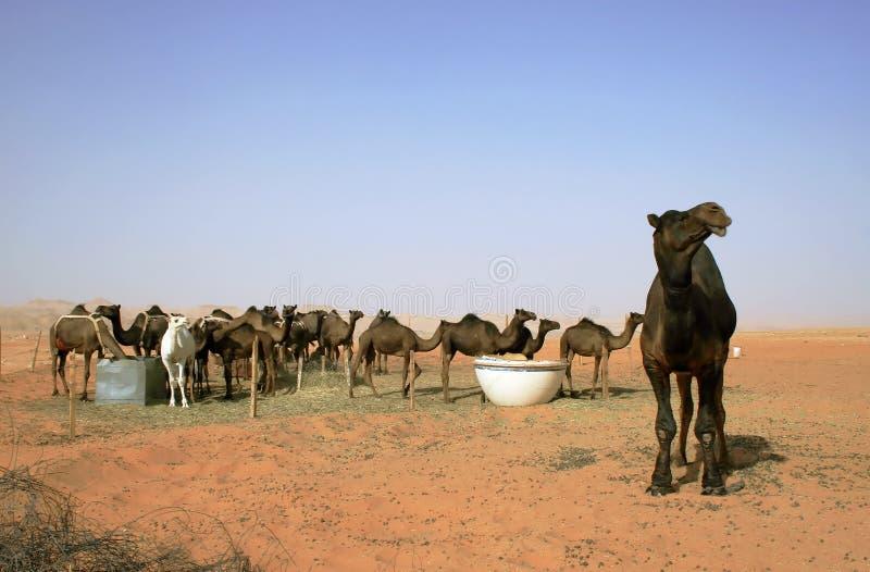 Manada de camellos imagen de archivo libre de regalías
