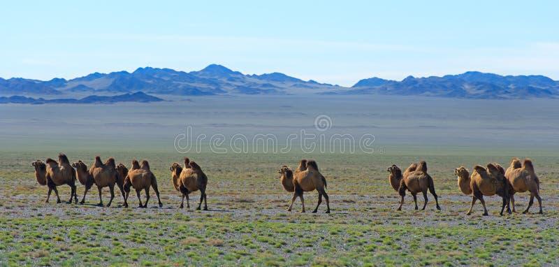 Manada de camellos salvajes fotografía de archivo libre de regalías