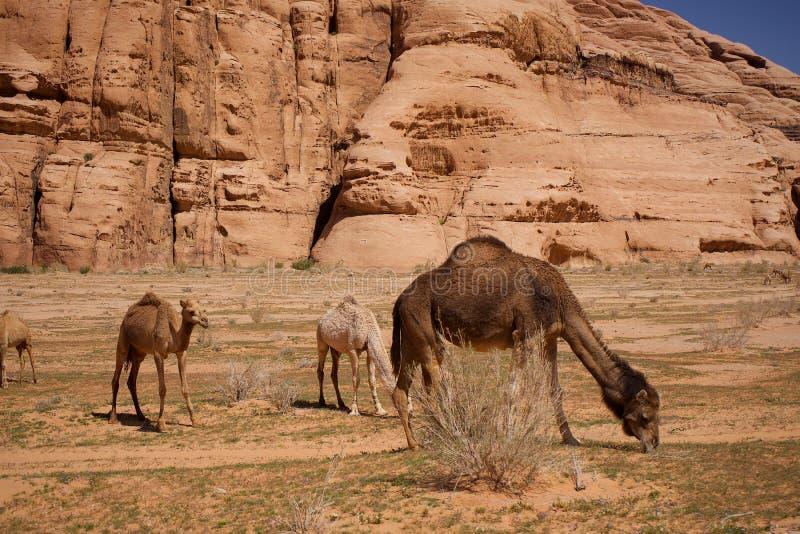 Manada de camellos salvajes en desierto en el Medio Oriente Asia imagen de archivo