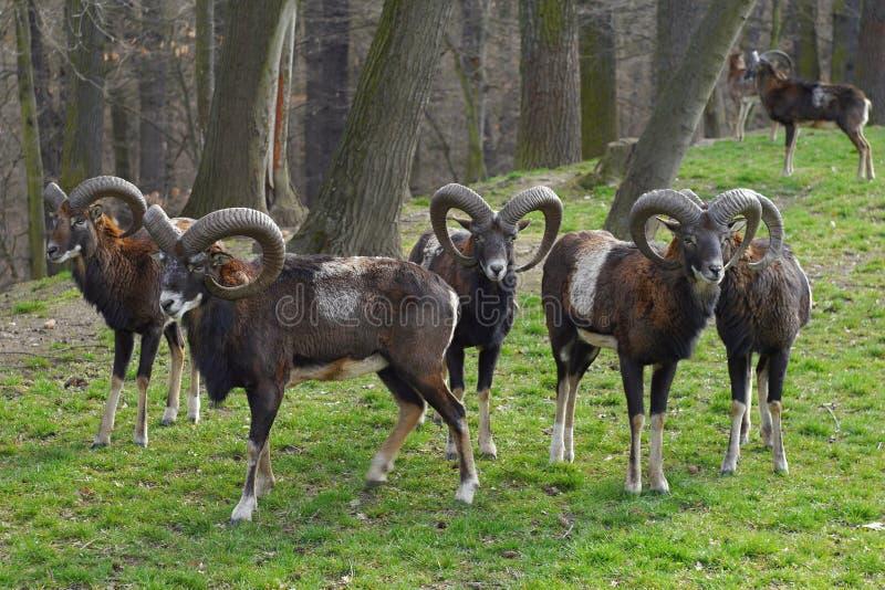 Manada de ciervos de Mouflon imagen de archivo libre de regalías