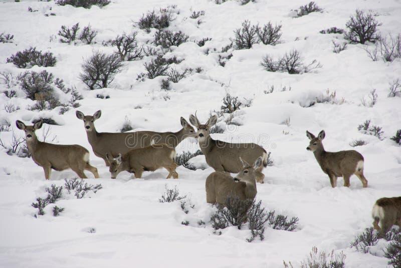 Manada de ciervos de mula en nieve profunda fotografía de archivo libre de regalías