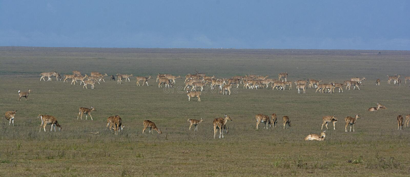 Manada de ciervos manchada fotografía de archivo libre de regalías