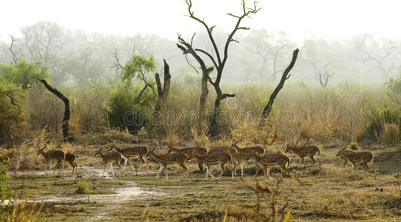 Manada de ciervos manchados indios imágenes de archivo libres de regalías
