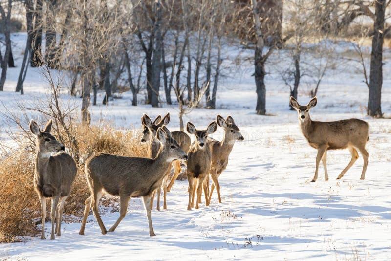 Manada de ciervos mula en la nieve Ciervos salvajes en los altos llanos de C imagenes de archivo