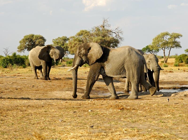 Manada de elefantes africanos ( foto de archivo libre de regalías