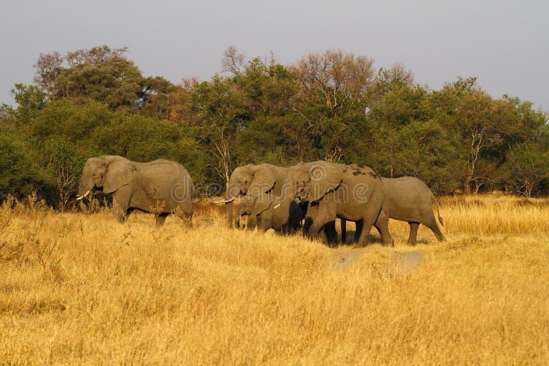 Manada de elefantes africanos foto de archivo
