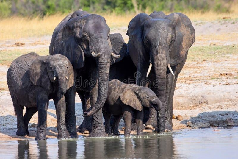 Manada de elefantes africanos, en el waterhole en el parque nacional de Hwange, Zimbabwe imagen de archivo libre de regalías