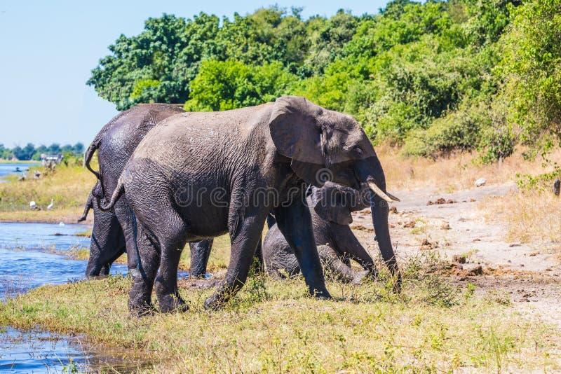 Manada de elefantes africanos imagen de archivo